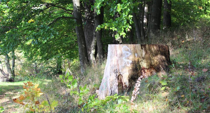 W Czarnoborze umierają dęby. Kolejne pomniki przyrody trafią pod topór